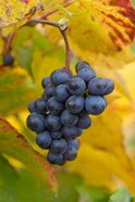 Beaujolais Red Grapes in Autumn