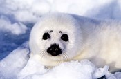 Harp Seal Pup at Gulf of St Lawrence