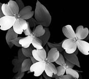 Dogwood (black & white)