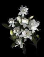Gardenia '06