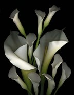 White & Crystal Blue Callas 2