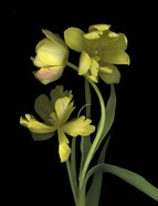 Yellow Dutch Tulip 1