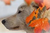 Wolf Profile Autumn Leaves
