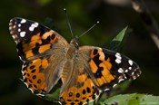 Butterfly With Brown And Black Specks