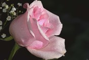 The Rose Pink