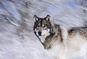 River Wolf I