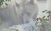 Down Stream Bear