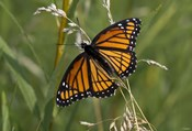 Orange And Black Butterfly In Greenery