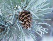 Frosted Pine Cone And Pine Needles I