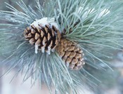 Frosted Pine Cone And Pine Needles II