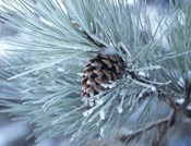 Frosted Pine Cone And Pine Needles III