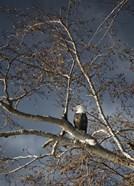 Eagle In Fall Tree