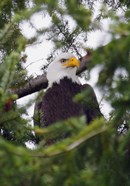 Eagle And Pine Needles