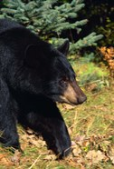Black Bear Stroll