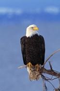 Eagle Pausing Blue Sky