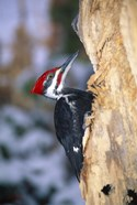 Woodpecker On Bark