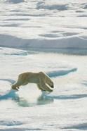 Polar Bear On Ice I
