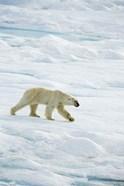 Polar Bear Walking On Ice I