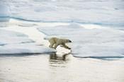 Polar Bear On Ice II