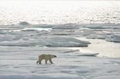 Polar Bear Walking On Ice II
