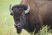 Buffalo Closeup I