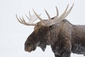 Brown Moose White Antlers