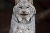 Silver Feline Green Eyes