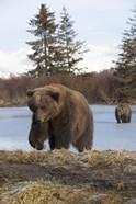 Bear On The Field