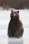 Bear Taking A Seat