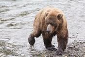 Wet Bear Walk