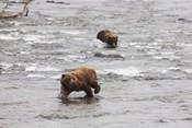 Wet Bear Swim