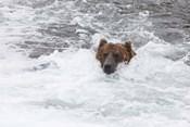 Bear Wading