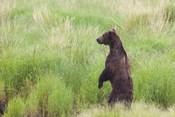 Bear In High Grass