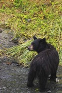 Black Bear Cub And Grass