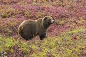Bear In Colored Field