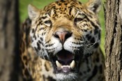 Jaguar Fangs
