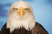 Wise Bald Eagle