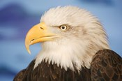 Wise Bald Eagle Profile