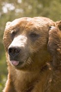 Brown Bear Tongue Out