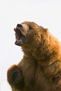 Bear Yawn II