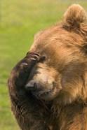 Brown Bear Disbelief
