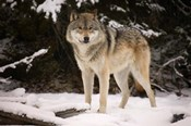 Brown Wolf In Winter