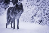 Gray Wolf In Winter Snow