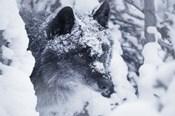 Gray Wolf Under Winter Snow