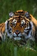 Gazing Tiger