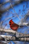 Cardinal On Birch Branch