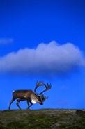 Caribou On Blue Sky