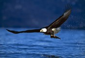 Soaring Eagle Over Blue Sea
