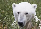 White Bear Portrait
