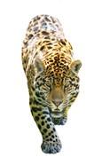 Jaguar On White